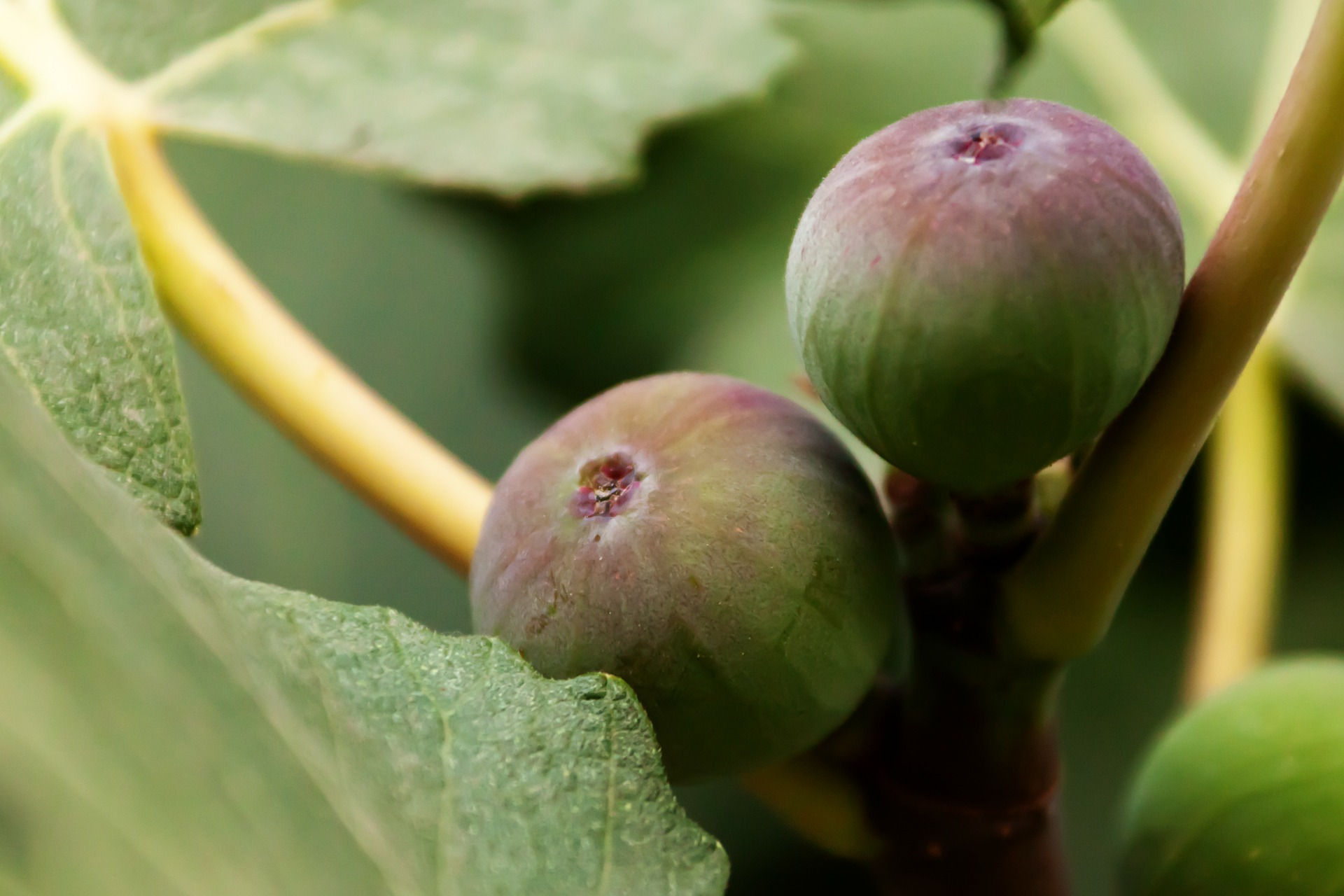 The Sweetness of Figs